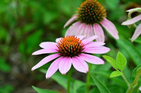 echinacea: Echinacea purpurea