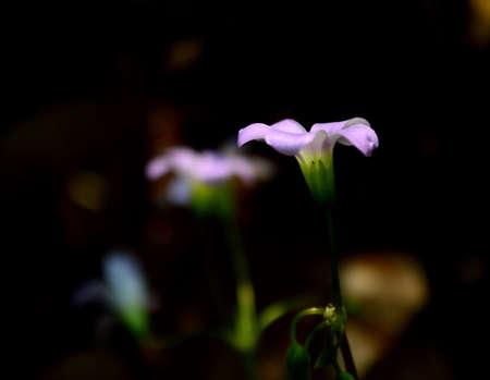 Oxalis corniculata Linn.