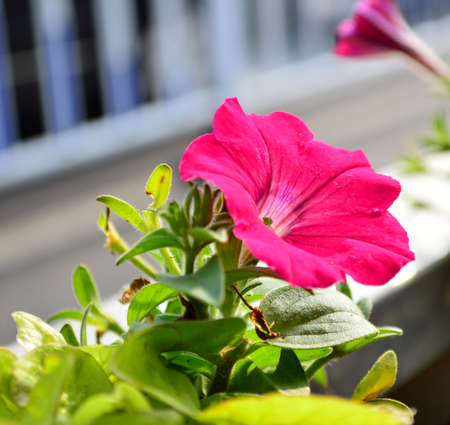 hybrida: Petunia hybrida Vilm Stock Photo