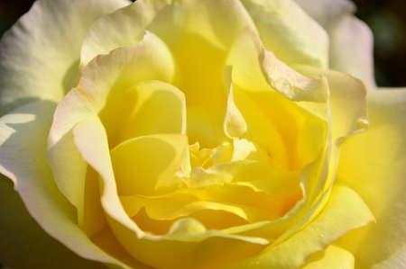 chinensis: Rosa chinensis Jacq.