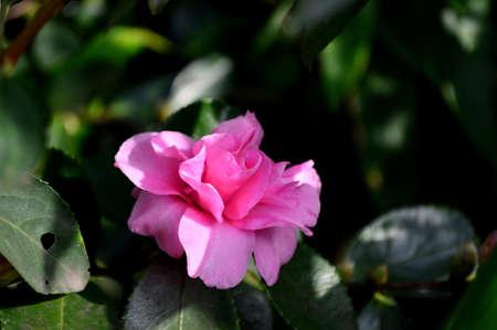 camellia japonica: Camellia japonica L.