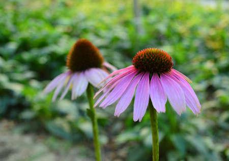 echinacea: Echinacea purpurea (Linn.) Moench