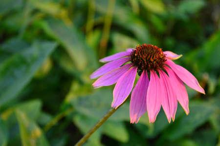 purpurea: Echinacea purpurea (Linn.) Moench