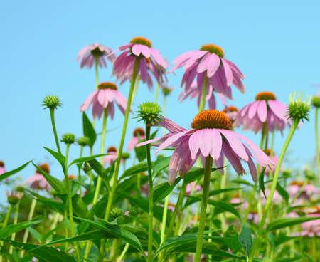 echinacea purpurea: Echinacea purpurea (Linn.) Moench