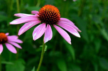 echinacea: Echinacea purpureaLinn. Moench