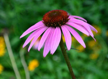 echinacea purpurea: Echinacea purpurea Stock Photo