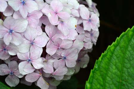 hydrangea macrophylla: Hydrangea macrophylla Stock Photo