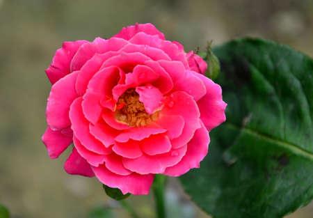 rosa: Rosa chinensis Jacq Stock Photo