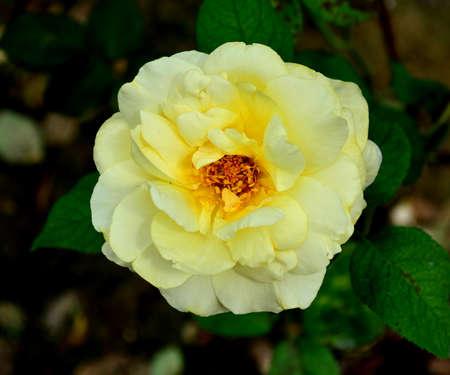 chinensis: Rosa chinensis Jacq Stock Photo