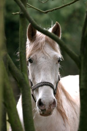 observer: Gray horse looking at observer Stock Photo