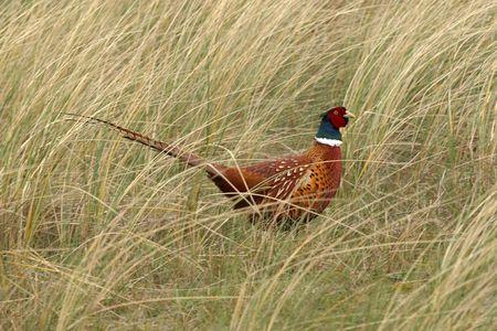 male pheasant in shrubs