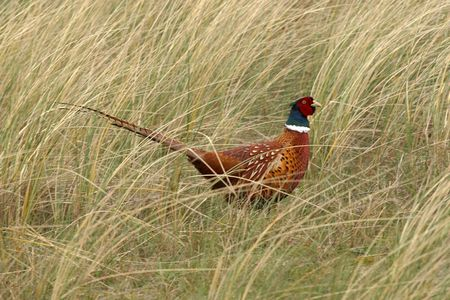 male pheasant in shrubs