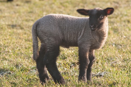 black and white lamb standing on the pasture