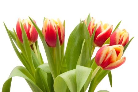 rot gelbe Tulpen freigestellt vor weissem Hintergrund  red and yellow tulips isolated on white background