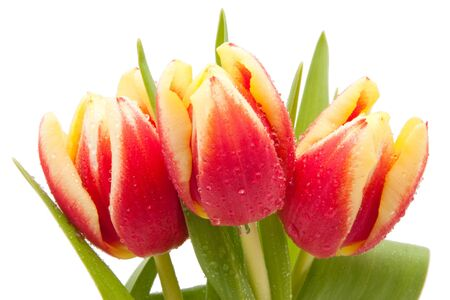 red and yellow tulips with water drops isolated on white background Stock Photo - 8990860