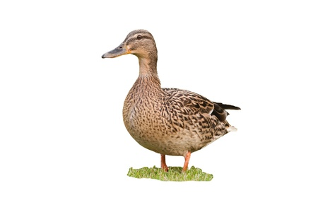 bird female mallard isolated on white background Stock Photo
