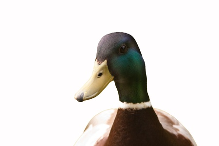 bird male mallard isolated on white background Stock Photo - 15777292