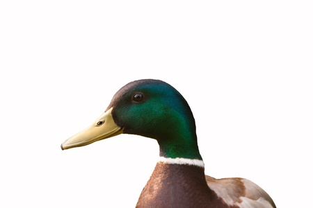 bird male mallard isolated on white background Stock Photo - 15777291
