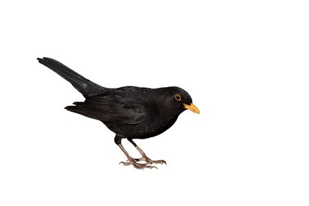 turdus merula - male eurasian blackbird isolated on white background