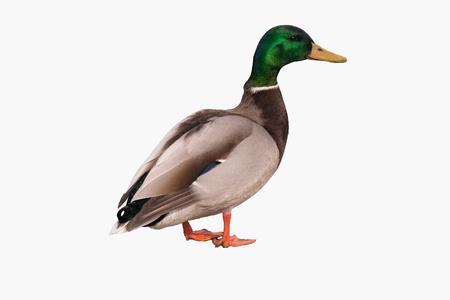 pato real: ánade real macho aislado en el fondo blanco