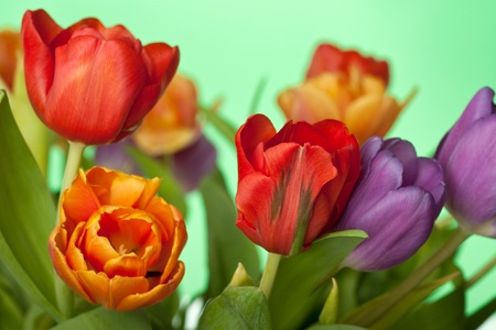 colorful fresh red, orange and violet tulips isolated on green background photo
