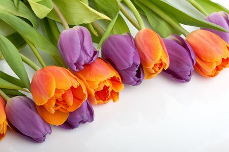 colorful fresh red and orange tulips isolated on white background photo