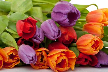 arreglo floral: colorido fresco rojo, naranja y violeta tulipanes con gotas de agua aisladas sobre fondo blanco Foto de archivo
