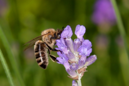 summer bee sitting on lavender searching for nectar - apis mellifera,