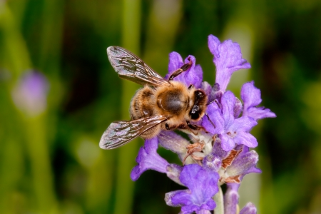 apis: summer bee sitting on lavender searching for nectar - apis mellifera,