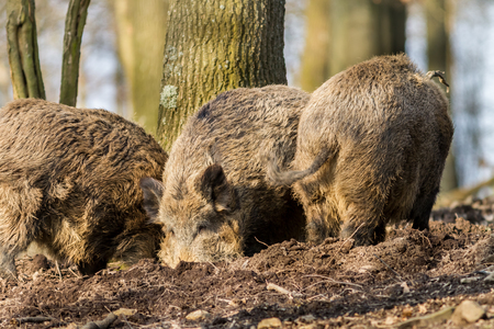 Wild Boar (sus scrofa scrofa) searching for food - wild board enclosure, Roetgen, Germany