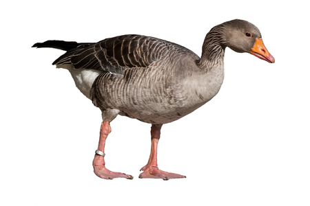 Anser anser - gray goose isolated on white background