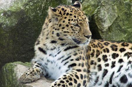 amur: Amur Leopard