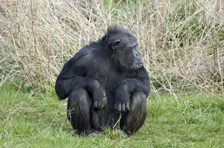 intrigued: Chimpanzee