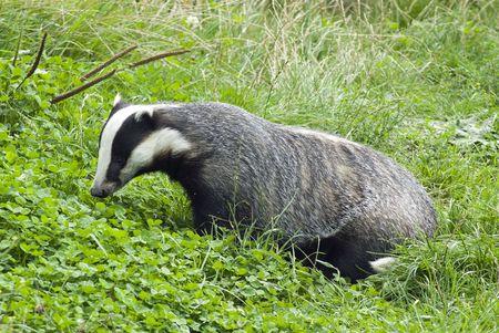 forage: Badger Stock Photo