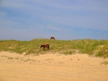 obx: Wild horses on the dunes along the Outer Banks of North Carolina.