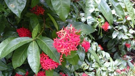 aguada: Red tropical flower