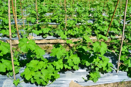 cucumber plant in garden of thailand sountheast asia photo