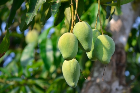 Mango On Thee Of Thailand Southeast Asia