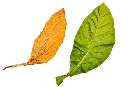 tobacco leaf on white background