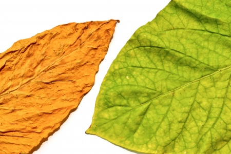 tobacco leaf on white background