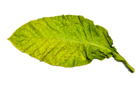 tobacco leaf on white background photo
