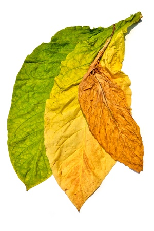 tobacco plants: tobacco leaf on white background