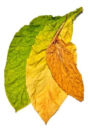 young leaf: tobacco leaf on white background