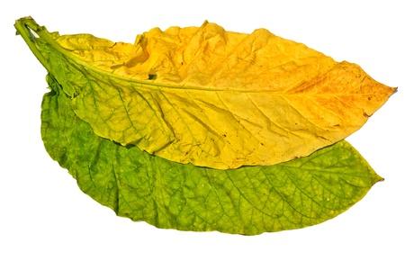 hojas secas: tabaco en hoja sobre fondo blanco Foto de archivo