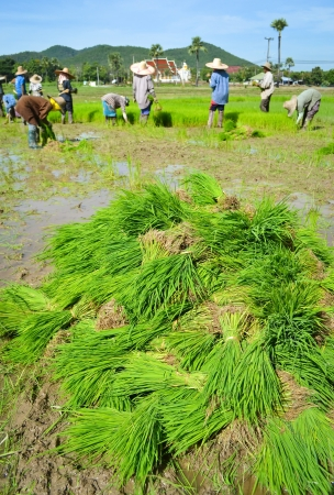 rice sprouts of thailand southeast asia