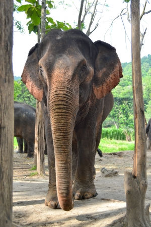 Big asia elephant in forest of sountheast asia photo