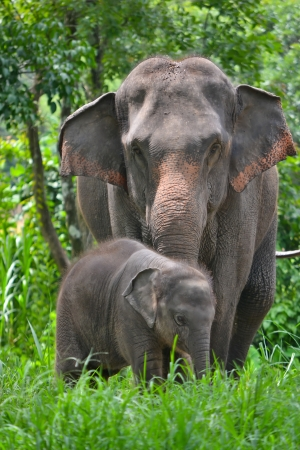 asia elephant mother and baby in forest of southeast asia photo
