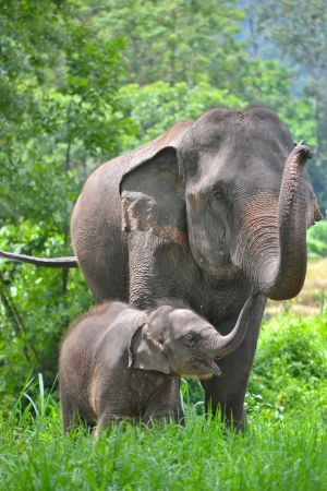 beauty animals: asia elephant mother and baby in forest of southeast asia