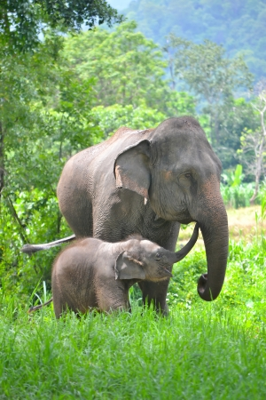 calves: asia elephant mother and baby in forest of southeast asia