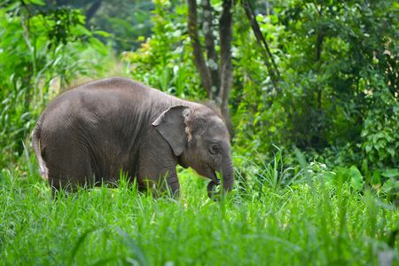 asia baby elephant in forest of southeast asia photo